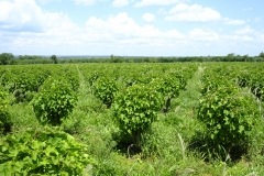 Chuta® can be grown in tropical and subtropical countries…