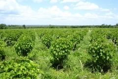 La Chuta® peut être cultivée dans des pays tropicaux et subtropicaux…